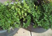 herb-tubs