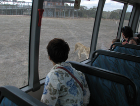 Me on the bus and the lioness outside the window