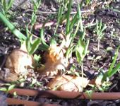 autumn sprouting